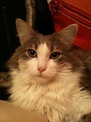Chiva, chat Européen