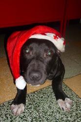 Chivas, chien American Staffordshire Terrier