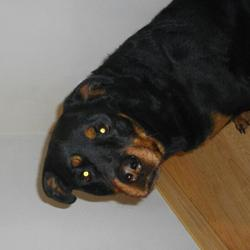 Chivas, chien Rottweiler
