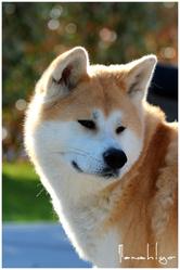Chiyo, chien Akita Inu