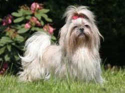 Chizukie, chien Shih Tzu