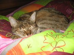 Chloé, chat Européen