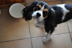 Chloé, chien Cavalier King Charles Spaniel