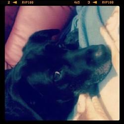 Chloé, chien Labrador Retriever