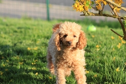 Chloé, chien Caniche