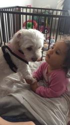 Chloé, chien Coton de Tuléar