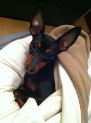 Chloé, chien Pinscher