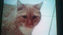 Chloé, chat Persan