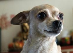 Chloe, chien Pinscher