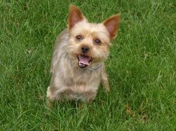 Chloe, chien Yorkshire Terrier