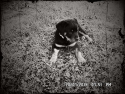 Chloé, chien Rottweiler
