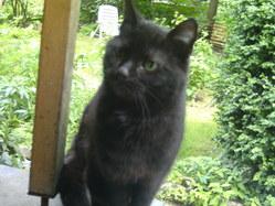 Chloée, chat Gouttière