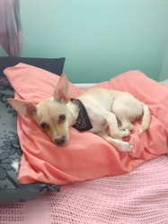 Chloée Lavache, chien Chihuahua