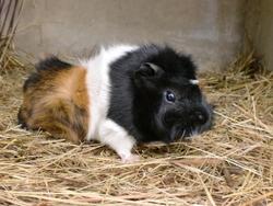 Chocapic, rongeur Cochon d'Inde