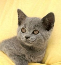Chocapic, chat Chartreux