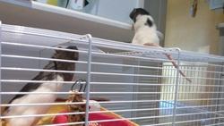 Chocapik, rongeur Rat