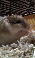 Chocca, rongeur Gerbille