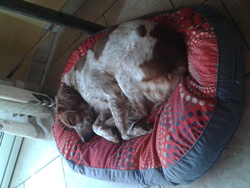 Chocky, chien Épagneul breton