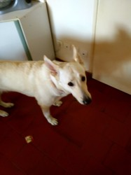 Choco, chien Berger blanc suisse