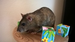 Choco, rongeur Rat