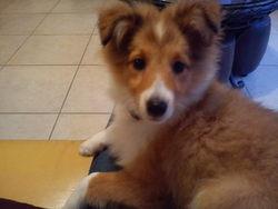 Choco, chien Berger des Shetland