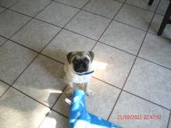 Choco, chien Carlin
