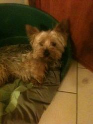 Choco, chien Yorkshire Terrier