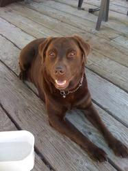 Choco, chien Labrador Retriever