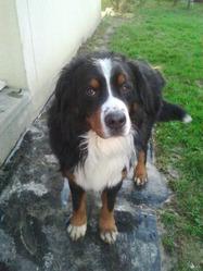 Choco, chien Bouvier bernois