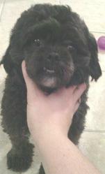 Choco, chien Shih Tzu