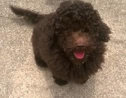 Choco, chien Caniche