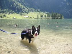 Choco, chien Border Collie