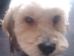 Choco, chien