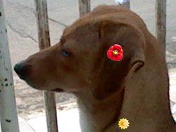 Chocolat, chien Basset de Westphalie