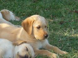 Chocolat, chien Labrador Retriever
