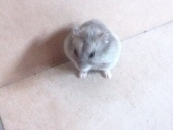 Chocolat, rongeur Hamster