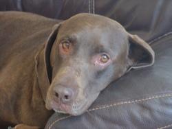 Chocolat, chien Braque allemand à poil court