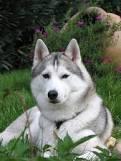 Chocolat, chien Husky sibérien