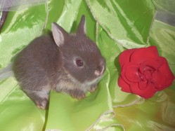 Chocoline, rongeur Lapin