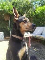 Choko, chien Silky Terrier