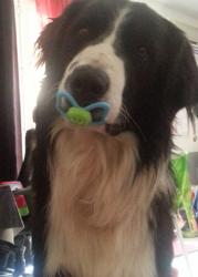 Choko, chien Border Collie