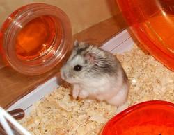 Choopachups, rongeur Hamster