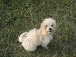 Choopy, chien Bichon à poil frisé