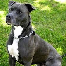Chop, chien American Staffordshire Terrier