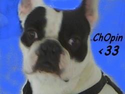 Chopin, chien Bouledogue français