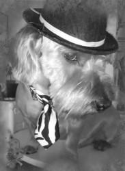 Chopin, chien Teckel