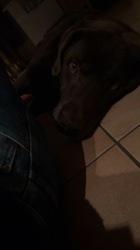 Chopin, chien Labrador Retriever