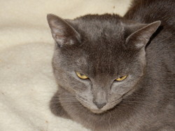 Chopin, chat Chartreux