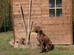 Chopper, chien Braque allemand à poil dur