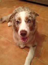 Chopper, chien Berger australien